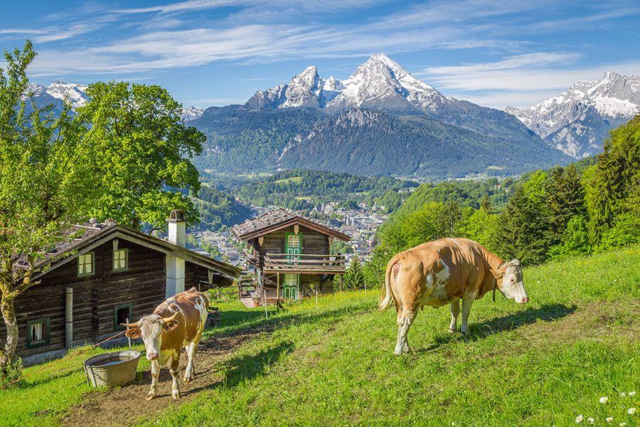 Kühe am Bergbauernhof